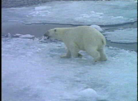 A polar bear runs across ice floes Stock Video Footage