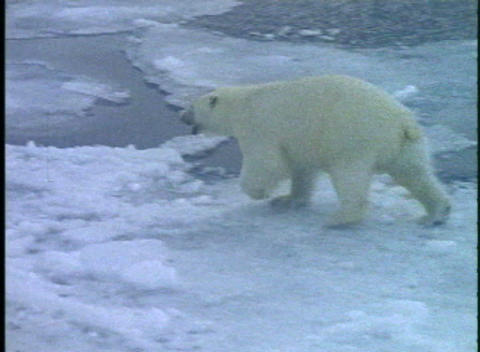 A polar bear runs across ice floes Footage