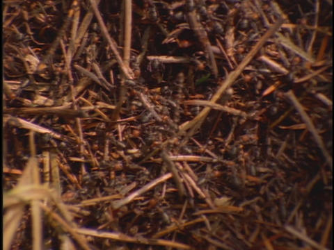 Thousands of ants climb on twigs in a desert Footage