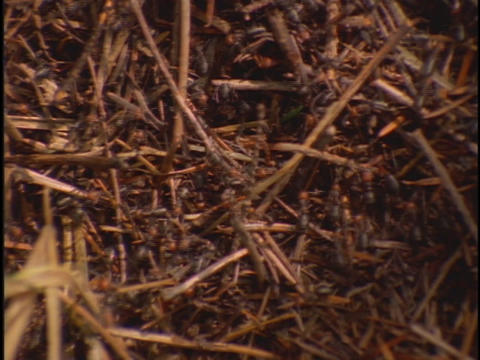 Thousands of ants climb on twigs in a desert Stock Video Footage