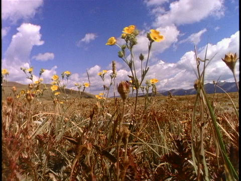 Yellow wildflowers in a field blow in the breeze Stock Video Footage