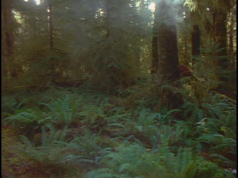 Fog drifts through a redwood forest in California Stock Video Footage