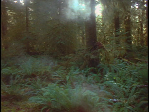 Fog drifts through a redwood forest in California Footage