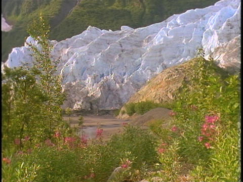 A large glacier rises beyond a field of wildflowers Footage