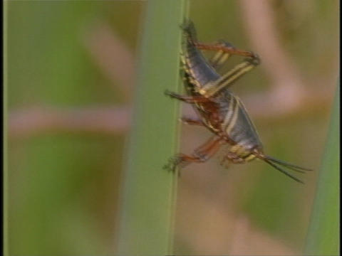 A grasshopper clings to a green stalk Footage