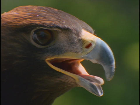 The face of a hawk watches intently Stock Video Footage