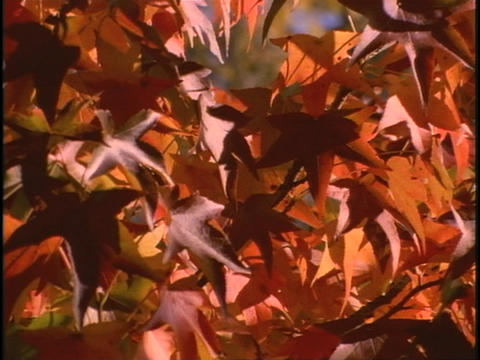 Branches of leaves rustle in the breeze Stock Video Footage
