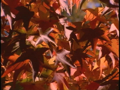 Branches of leaves rustle in the breeze Footage