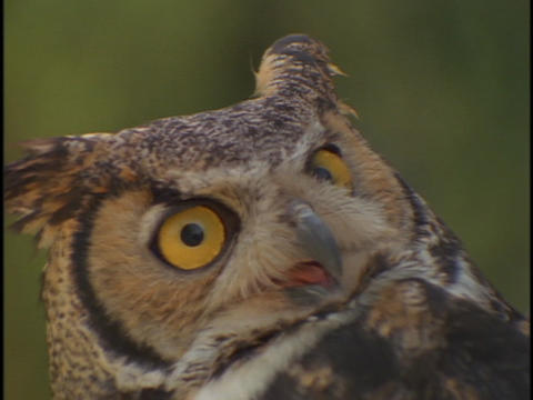 The face of an owl looks up Stock Video Footage