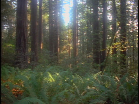 Sunlight filters through a grove of redwood trees Stock Video Footage
