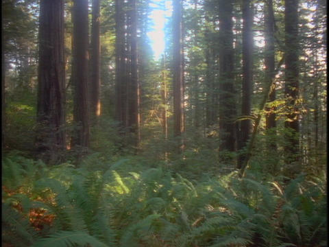 Sunlight filters through a grove of redwood trees Footage
