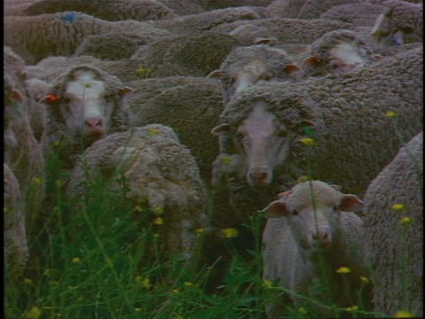 A flock of sheep huddle in a green pasture Stock Video Footage