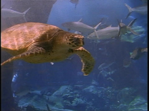 A sea turtle swims near a school of fish Footage