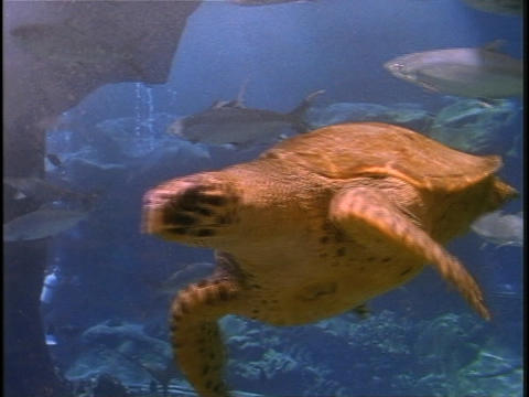 A sea turtle swims near a school of fish Stock Video Footage