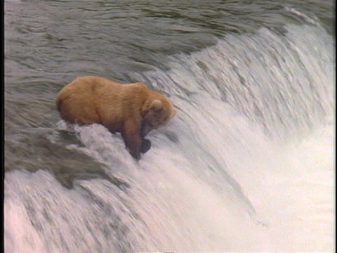A bear captures a salmon at the top of a waterfall Footage