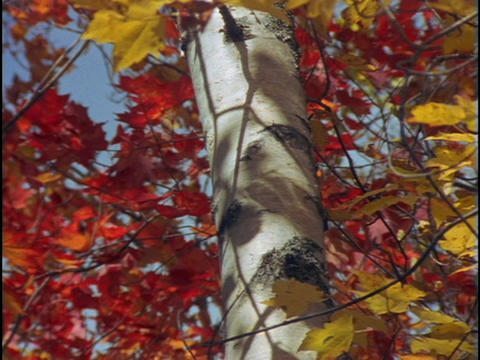 Red and gold maple leaves and a tree trunk sway in the wind Stock Video Footage