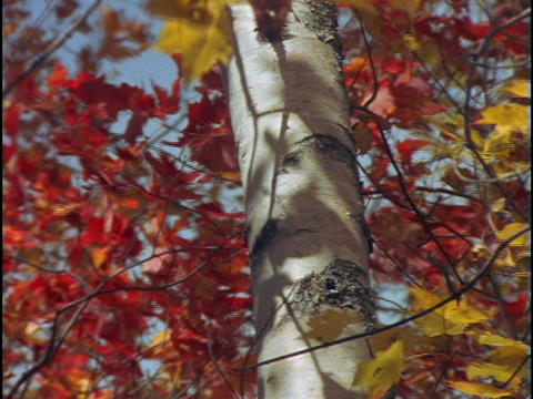 Red and gold maple leaves and a tree trunk sway in the wind Footage