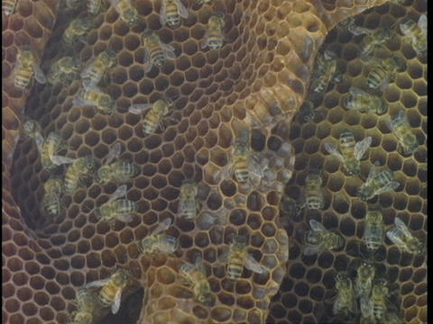 Bees work in their hive Footage