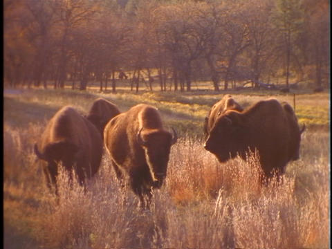 Buffalo graze in prairie grass at Yellowstone National Park Footage