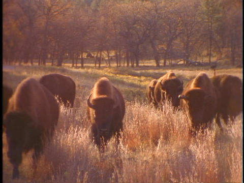 Buffalo graze in prairie grass at Yellowstone National Park Stock Video Footage