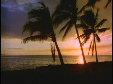 Palm trees sway in the breeze on the shore Footage