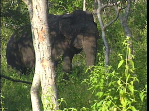A wild Asian Indian elephant walks through a densely... Stock Video Footage
