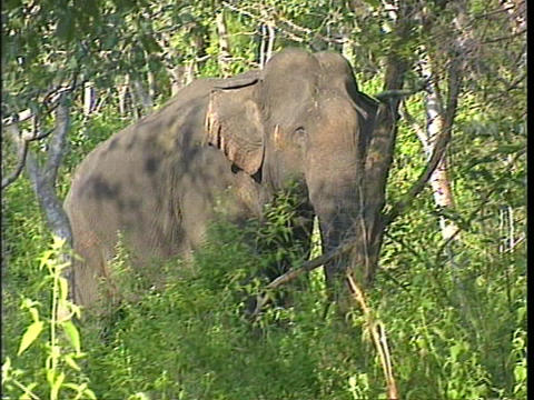 A wild Asian Indian elephant walks through a densely wooded area Footage