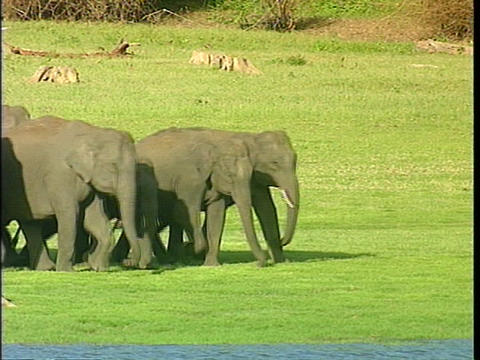 An Asian elephant family with a small baby walks across an open field Footage