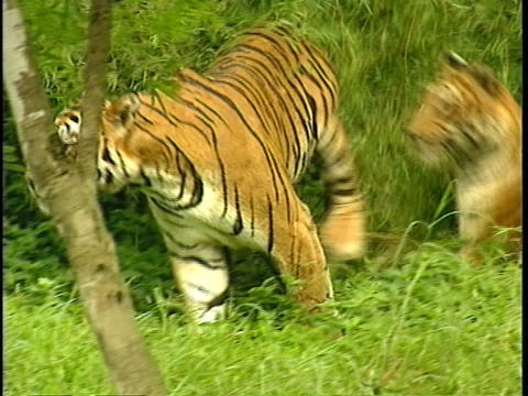 Companion tigers play in a bamboo grove Stock Video Footage