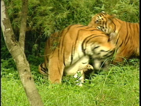 Companion tigers play in a bamboo grove Footage