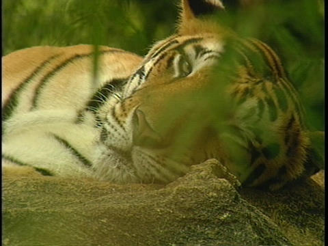 A tiger lounges in the jungle Stock Video Footage