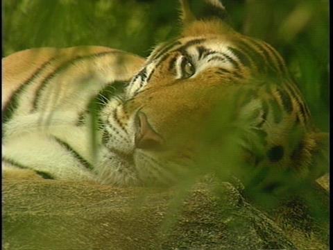 A tiger lounges in the jungle Footage