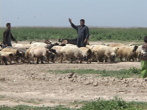 Iraqi shepherds pose with their herds as they walk in a field Footage