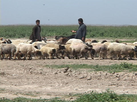 Iraqi shepherds pose with their herds as they walk in a... Stock Video Footage