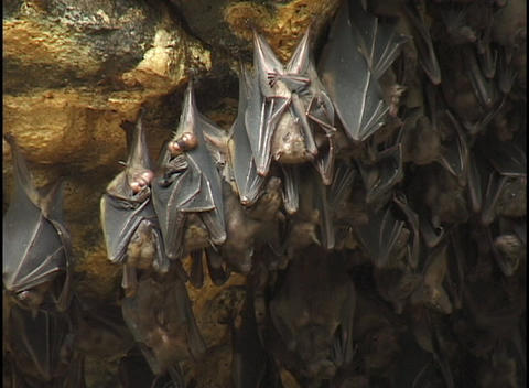 Bats hang upside-down in a cave Stock Video Footage