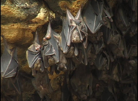 Bats hang upside-down in a cave Footage