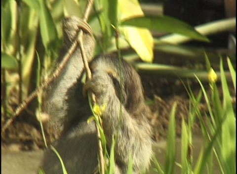 A sloth slowly makes its way down slender tree branches Stock Video Footage