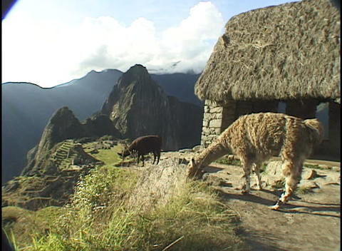 llamas graze on a peak above the ancient ruins of Machu... Stock Video Footage