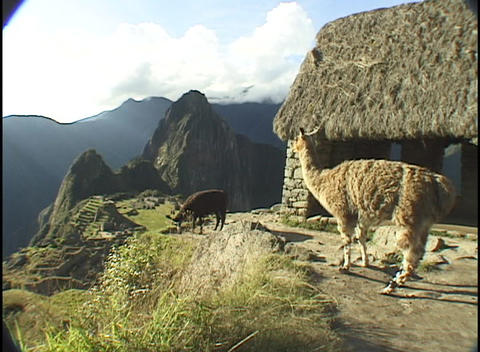 llamas graze on a peak above the ancient ruins of Machu Picchu Footage