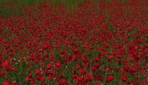 A poppy field in Tuscany, Italy Stock Video Footage