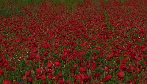 A poppy field in Tuscany, Italy Footage