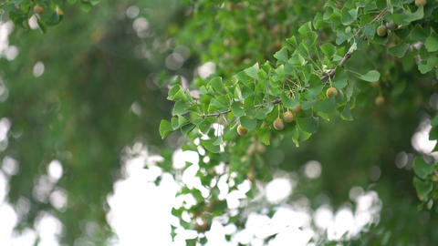 800 years ginkgo tree 칠석동 은행나무 Footage