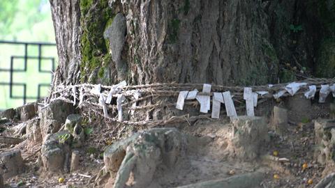 800 years ginkgo tree ,guardian tree of the town 칠석동 당산나무 Footage