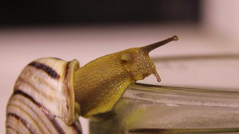 garden snail (Helix pomatia) Footage