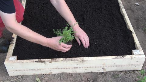 Gardener in raised flower bed planting Common thyme Thymus vulgaris seedlings Live Action