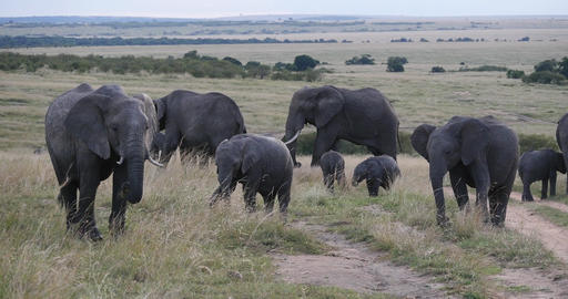 African Elephant, loxodonta africana, Group in the Savannah, Masai Mara Park in Kenya, Real Time 4K Live Action