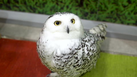 A polar owl sits and stares intently. White big owl Live Action