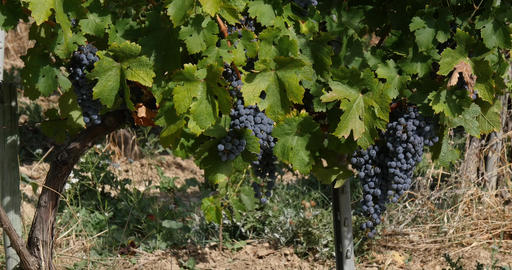 Vine and bunch of grapes in the Alpilles, South East of France, Real Time 4K Live Action