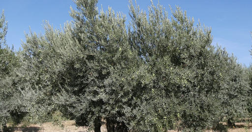 Wind in the Olive's Tree near Maussane Les Alpilles in the South East of France, Real Time 4K Live Action