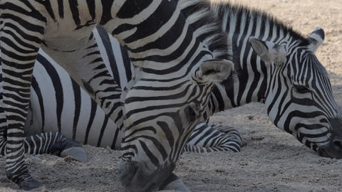 Zebras in the zoo Live Action
